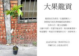 心栽花坊-大果龍貢/4吋/高壓苗/水果苗/售價1600特價1200