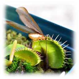 ✿蝕草小舖✿ 食蟲植物 捕蠅草 Dionaea muscipula