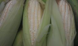 自家栽種~ 水果玉米  雪珍玉米~當天現採現寄,新鮮度百分百 ~開賣中
