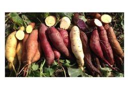 【菜田瓜園】日本金時地瓜、日本紫黑地瓜、巴西白地瓜、台農57號地瓜、台農66號地瓜、菱角牛奶地瓜~