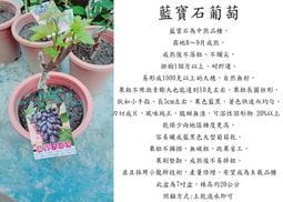 心栽花坊-藍寶石葡萄/5吋嫁接苗/葡萄品種/水果苗/售價2400特價1600