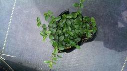 尋花趣-蔓榕  10盆/組 (可作綠牆 美化景觀 防止土壤流失 抑制雜草生長) 此商品無法與種子合併出貨