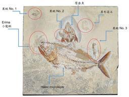 [7件化石] 3隻果蝦 + 1隻龍蝦 + 2隻魚 + 1個異形菊石,豐富化石群板 (保有魚皮膚 牙齒)