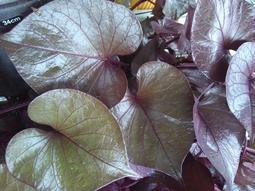 10種地瓜葉計100枝枝條【推廣種植、半價限量優惠、促銷完後、恢復原價】