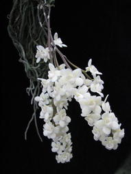 Chilo. viridiflava var. alba 驚世稀有的香噴噴白蜘蛛蘭 ,板植單株,買到賺到 !