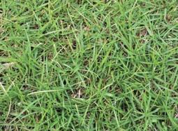 歐美進口 當季新鮮 (裹粉)假儉草 種子 100克 裝 發芽率高 假儉草種子 種子、草皮、草子