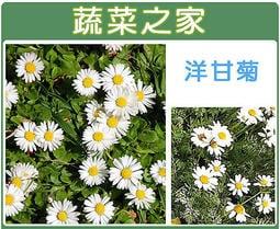 【蔬菜之家】K03.洋甘菊種子300顆(加速堆肥分解,乾燥花和葉可作薰香料)