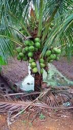 海南【矮種香椰】矮種椰子|盆栽苗木專賣|台灣平地可種植|皇家果樹園