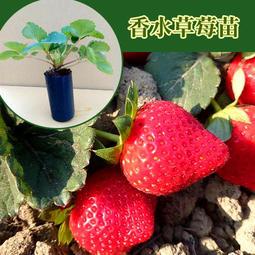 草莓苗 果大飽滿 強勢品種 香水草莓苗