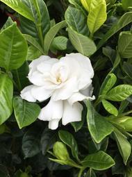 一禪種苗園-花可製香水<玉堂春(槴子花)>綠籬植物-5吋盆