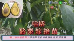 【景龍園 】哈斯酪梨嫁接苗 買十送一 產地直銷 酪梨苗 酪梨 HASS  Avocado 哈斯酪梨  哈斯酪梨苗  哈斯